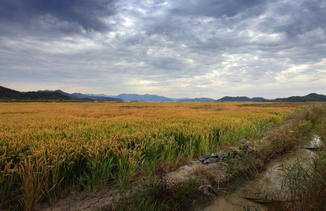 直播水稻苗期管理技术